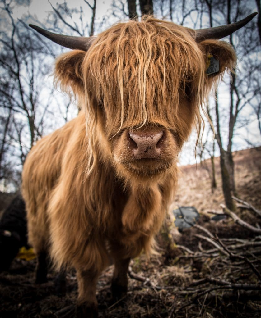Highland cow on our tour