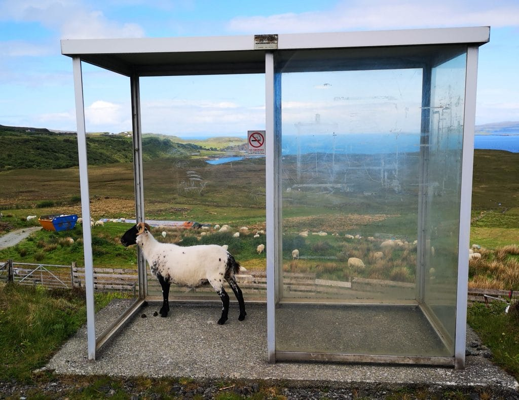 Sheep waiting for a bus on the Isle of Skye